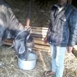 伝統的な水牛とヤギの餌