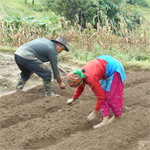Planting vegetable in Hananoie