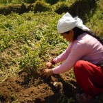 Harvesting potatoes in Hananoie.
