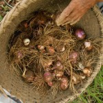 Harvesting time for onion in Hananoie and around