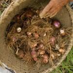 玉ねぎの収穫時期です