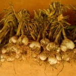 Harvesting  Garlic in Hanananoie