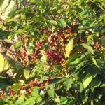 はなのいえで採れるコーヒー豆