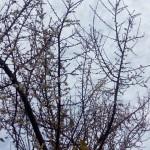 (日本語) 梅の花が咲きました